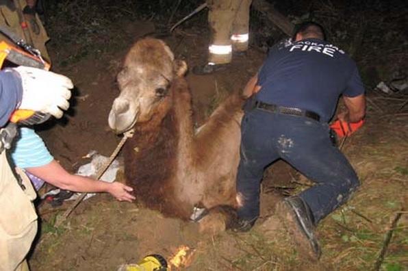 kupranugaris
