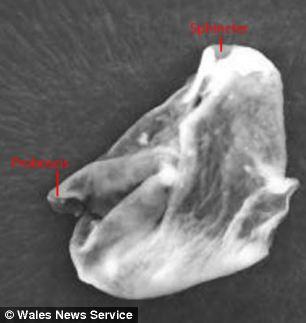 Startosferoje aptikta neidentifikuoto organizmo kūno dalis - manoma, kad tai yra galva su straubliško pavidalo nosimi ir dviem šnervių angomis.