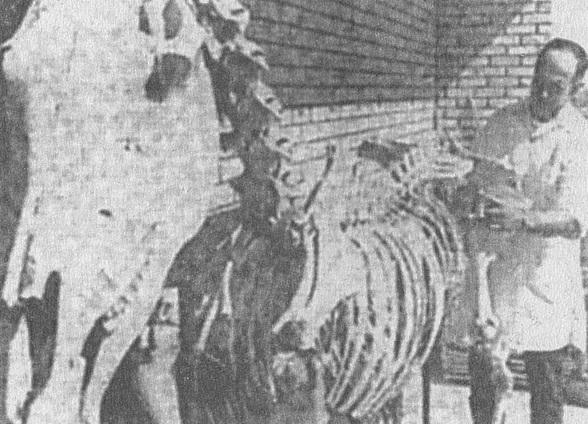 karves-skeletas
