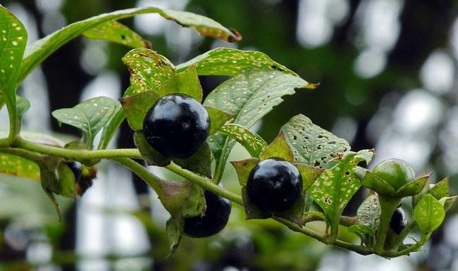 Vaistinė šunvyšnė yra nuodinga, bet moteris trindavo jos vaisių sultis į akis. ©Puusterke | commons.wikimedia.org